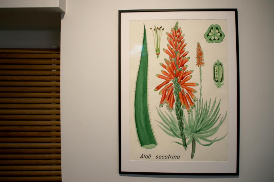Алоэ сокотринское (Aloe succotrina) на иллюстрации датского художника Бент Йонсен