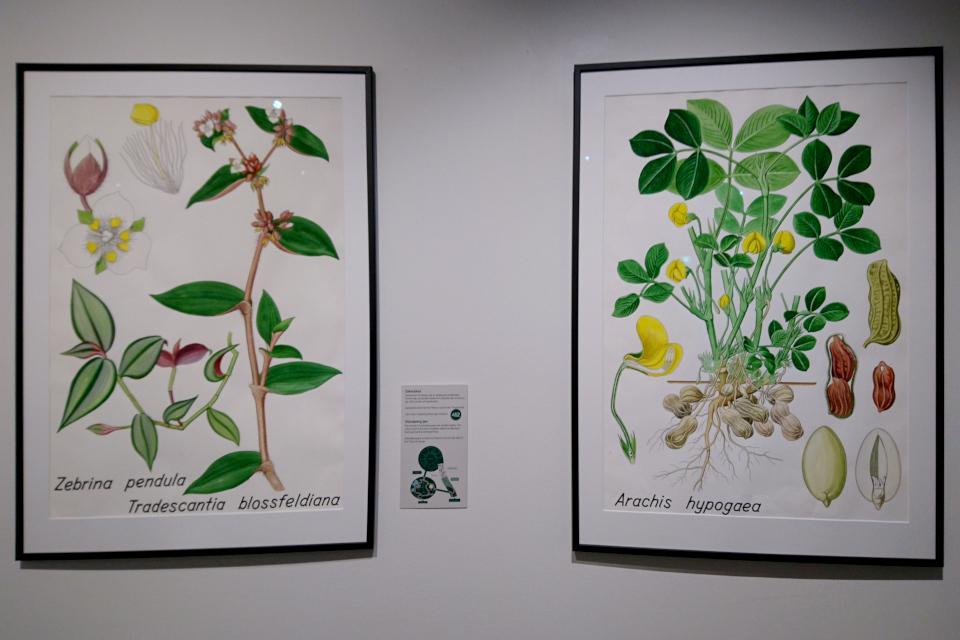 Ботанические детали: Зебрина висячая (Zebrina pendula) и Арахис (Arachis hypogaea)
