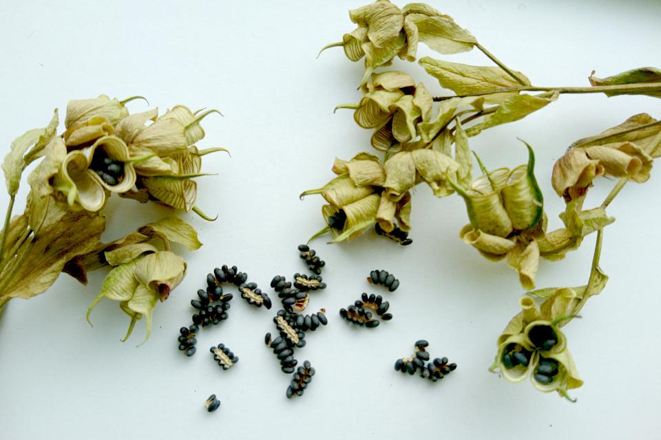 Морозник восточный- сухие плодовые коробочки с семенами