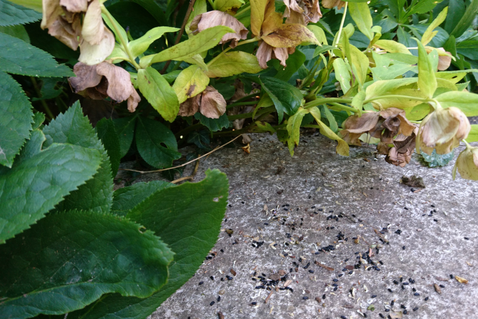 Из семенных коробочек высыпаются семена морозника восточного, Дания