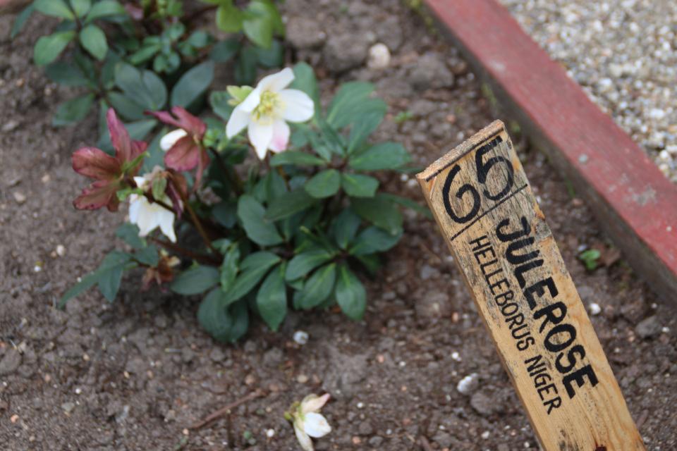Цветущий морозник на грядках аптекарского сада
