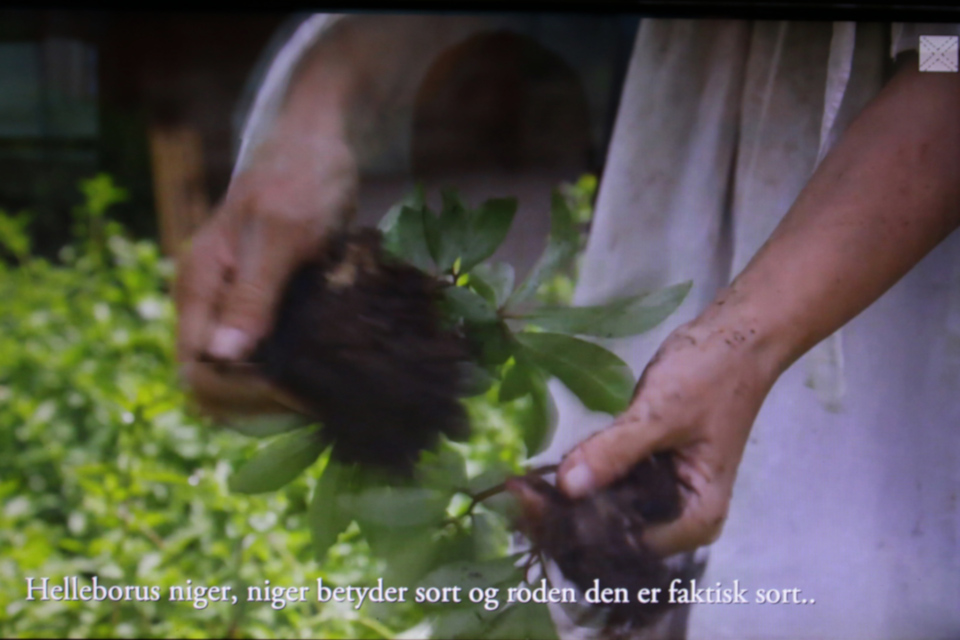 Helleborus niger - niger означает черный, корни действительно черные
