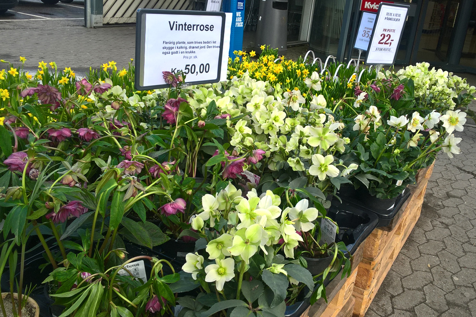 """Под название """"Зимние розы"""" продаются разные виды морозников"""