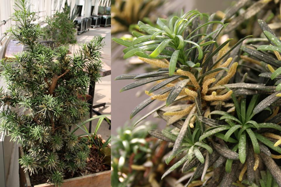 Подокарп крупнолистный (Podocarpus macrophyllus) в контейнере