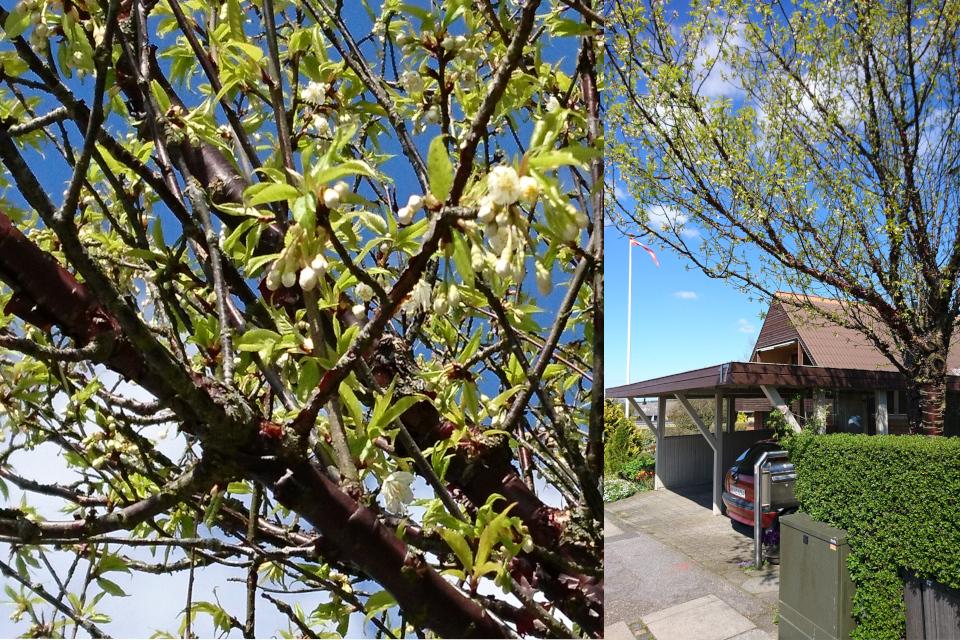 Тибетская вишня (дат. Tibetansk Kirsebær, лат. Prunus serrula). Сад Йенс Кёэ (Jens Kjøge have), Ørnegårdsvej 17, Хойбьерг, Дания. Фото 4 мая 2018