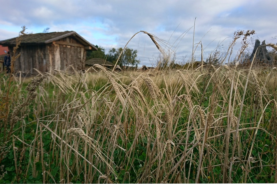 Зерновые культуры в парке каменного века Эртебёлле / Stenaldercenter Ertebølle