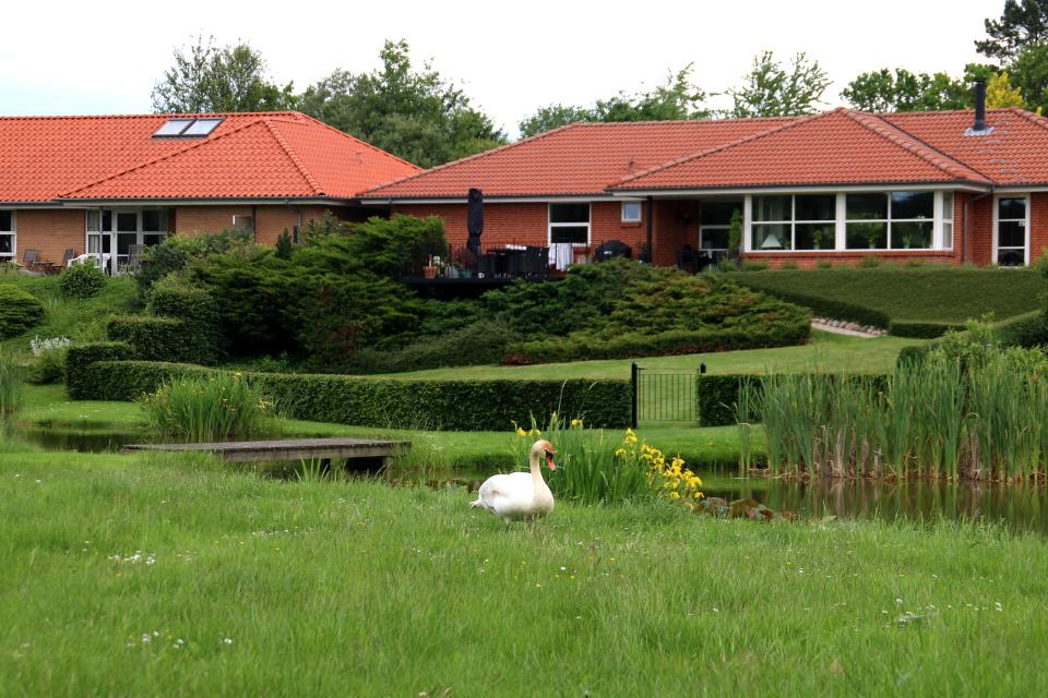 Белый лебедь-шипун (Cygnus olor) поселился на озере возле частных домов, Дания