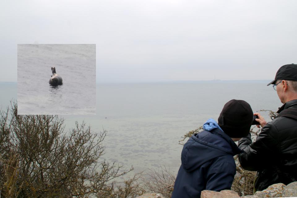 Серый тюлень в море возле полуострова Kaløvig с руинами замка, Дания