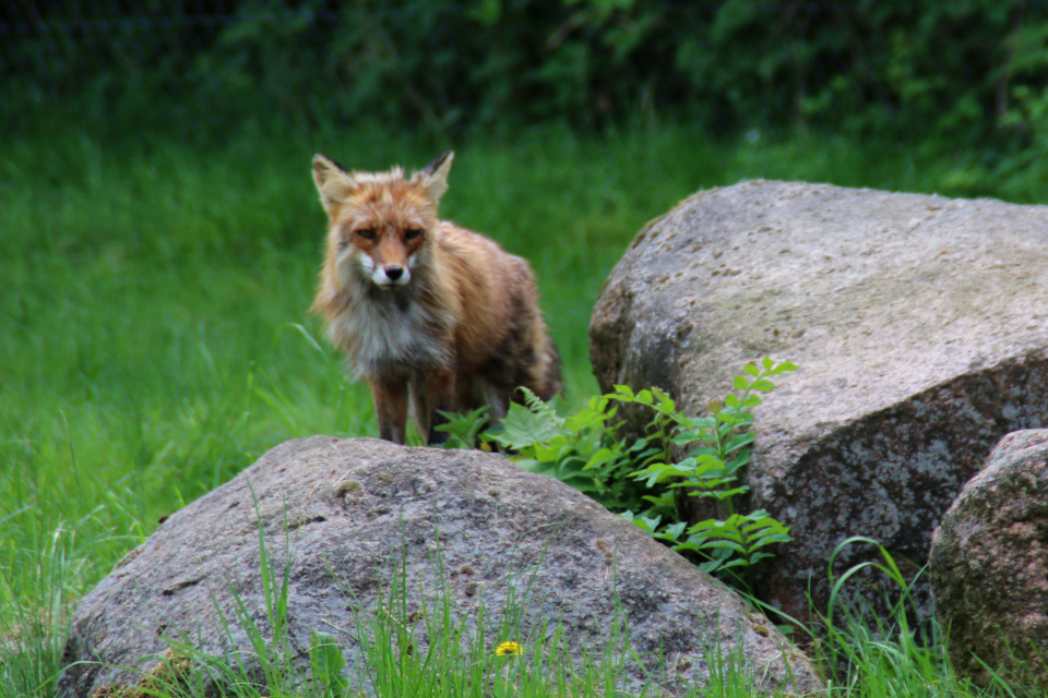 Лиса (Vulpes vulpes) в Скандинавском парке (Skandinavisk Dyrepark), Дания