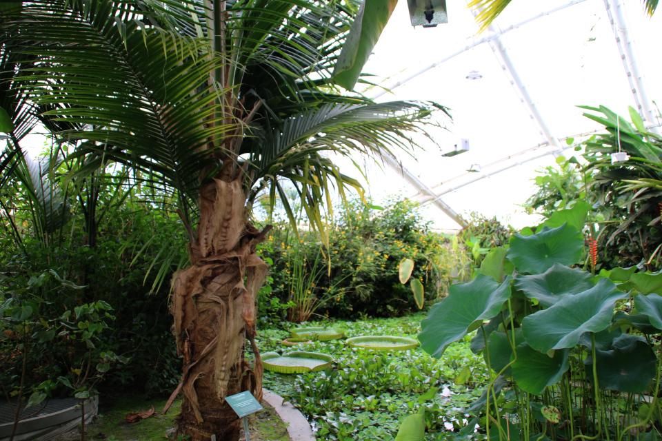 Кокосовая пальма (Cocos nucifera) в тропическом отделе ботанического сада, Дания