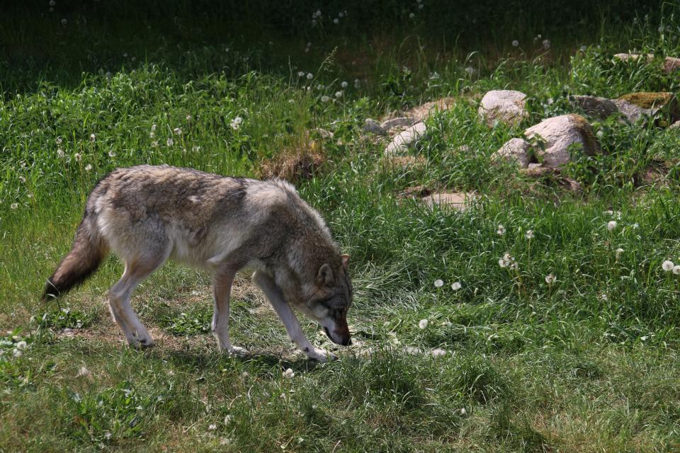 Серый волк (Canis lupus) в Скандинавском парке (Skandinavisk Dyrepark), Дания