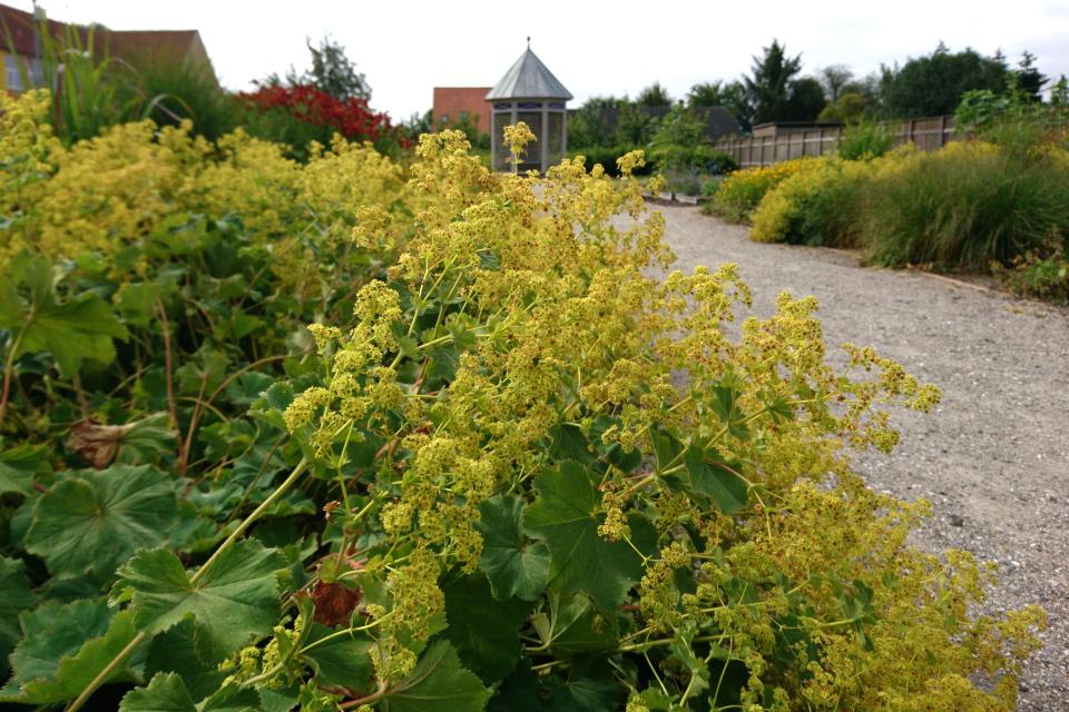 Манжетка мягкая (Alchemilla mollis). Сад Коменского в Кристиансфельд, Дания.