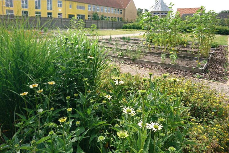 Эхинацея пурпурная (Echinacea purpurea). Сад Коменского в Кристиансфельд, Дания