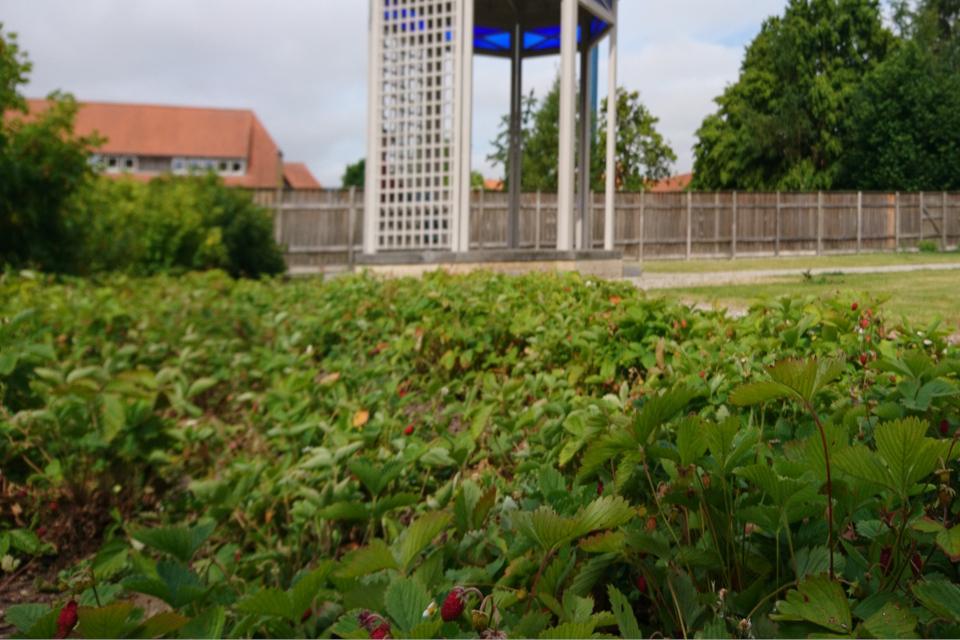 Земляника с цветами и спелыми ягодами в саду Коменского