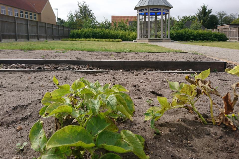 Грядка с картофелем. Фото 17 июл. 2019, сад Коменского, Кристиансфельд, Дания