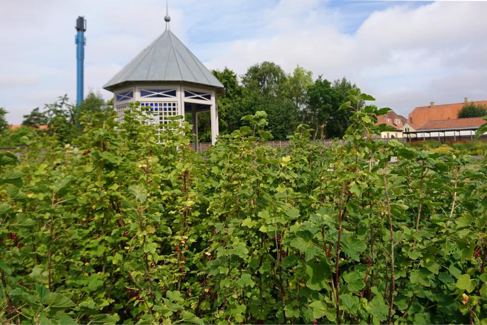 Кусты красной смородины со спелыми ягодами, г. Кристиансфельд, Дания