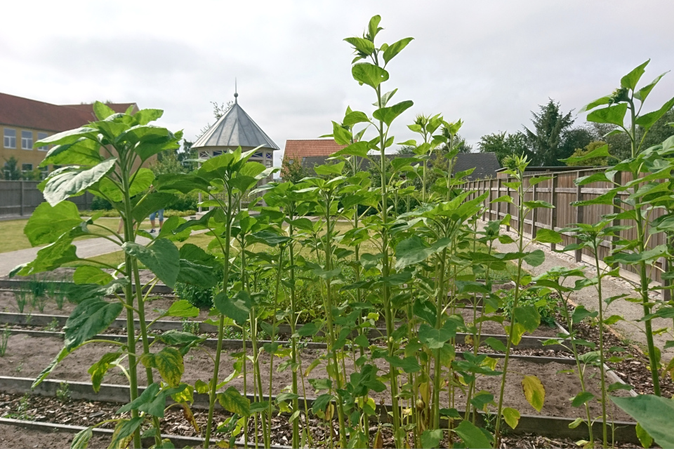 Подсолнечник масличный (Helianthus annuus) на школьных грядках