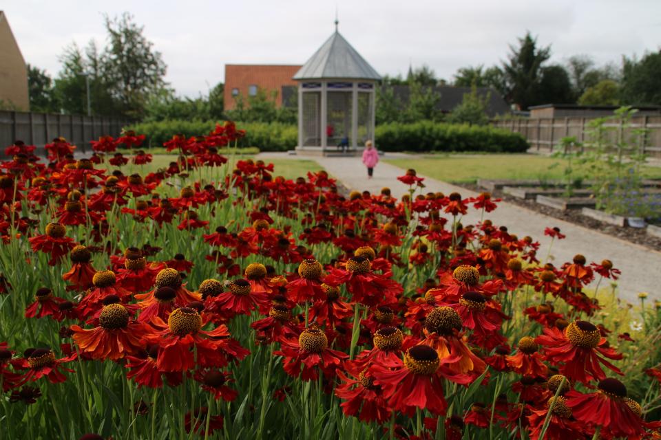 Гелениум (Helenium bigelow). Сад Коменского в Кристиансфельд, Дания.