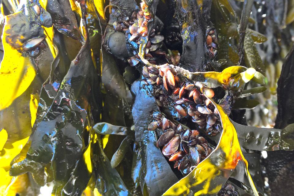 Малюсенькие ракушки мидия у основания стеблей, Дания