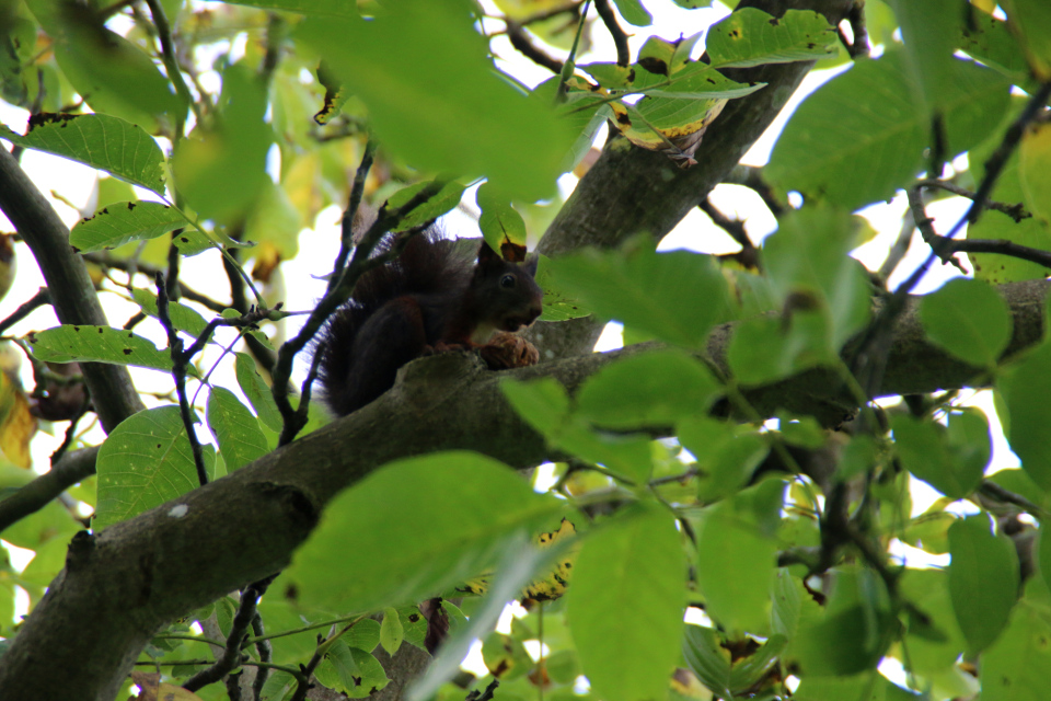Черная белка на дереве грецкий орех в королевском парке Марселисборг