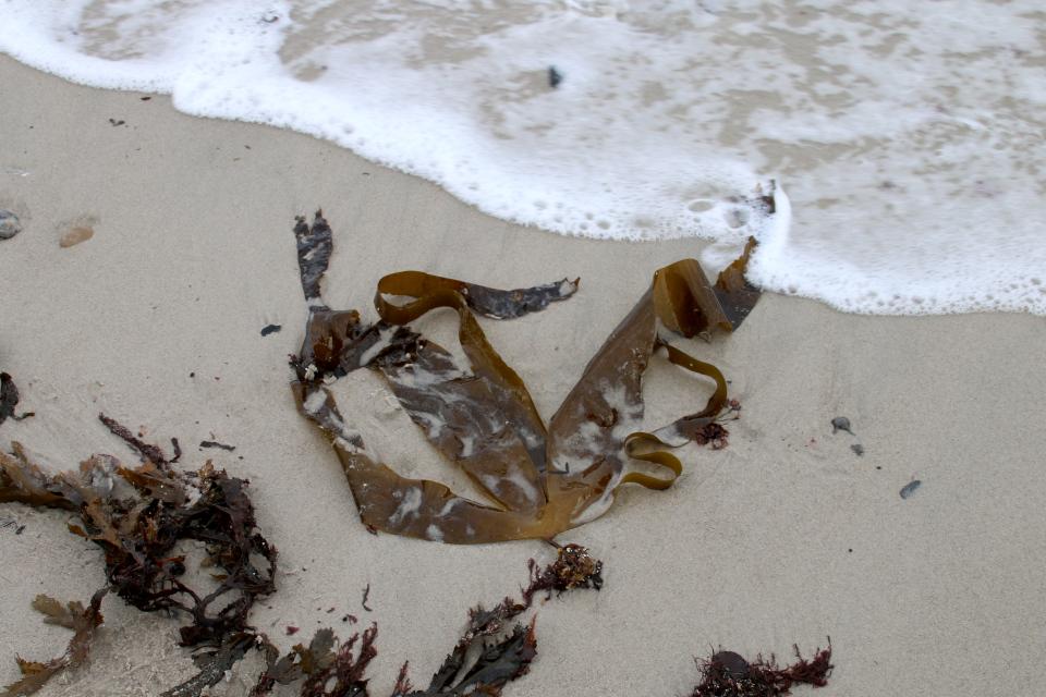 Ламинария пальчаторассеченная (Laminaria digitata) на берегу моря