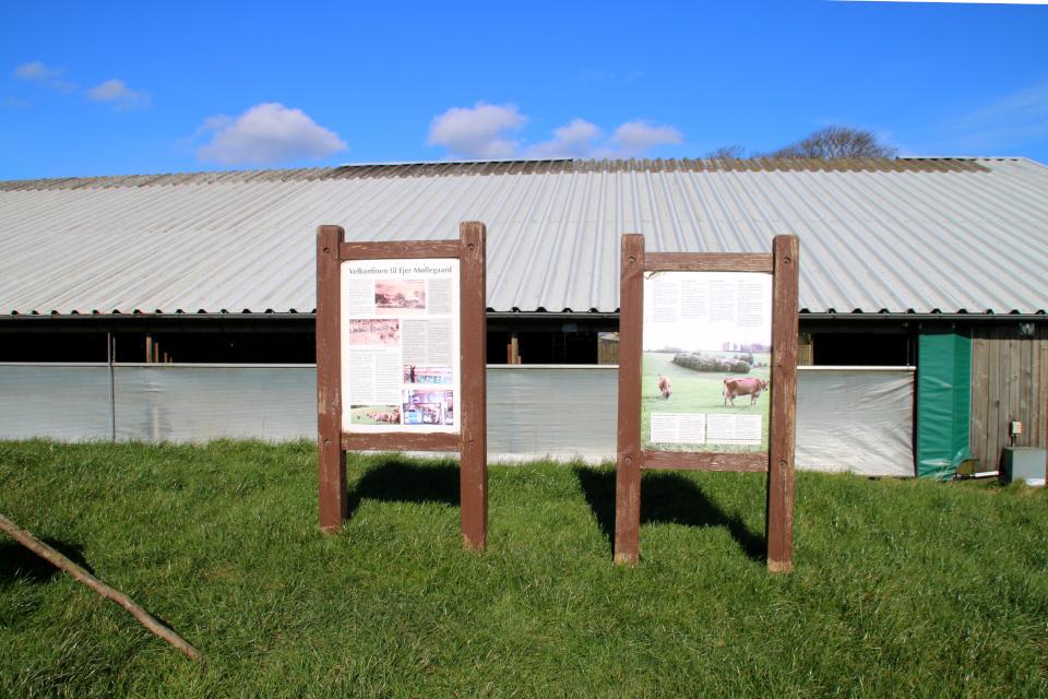 Информационные щиты возле хлева про коров, Мёллехой / Møllehøj, Дания