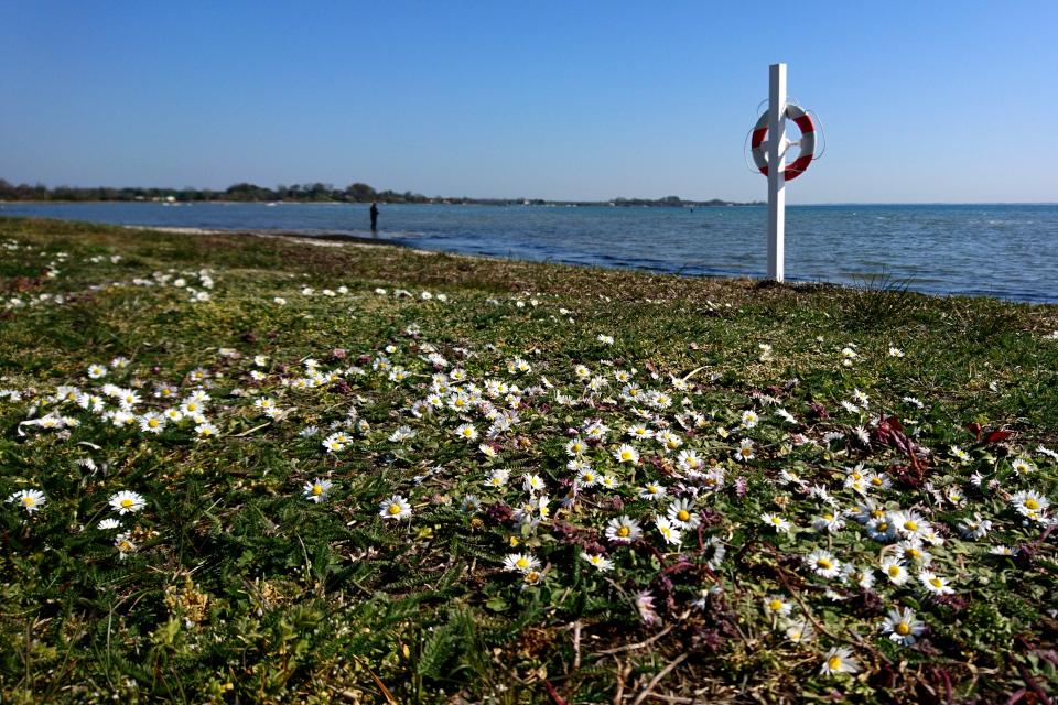 Маргаритки на берегу Биндеруп странн (Binderup Strand), Дания. Фото 17 апр. 2019