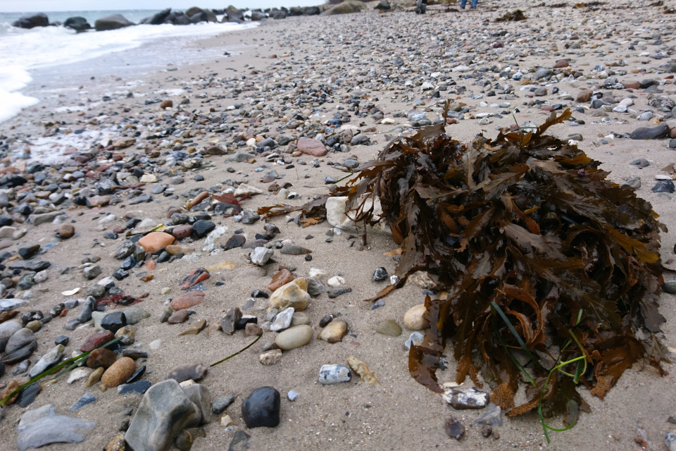 Фукус зубчатый (Fucus serratus) на берегу моря, Дания
