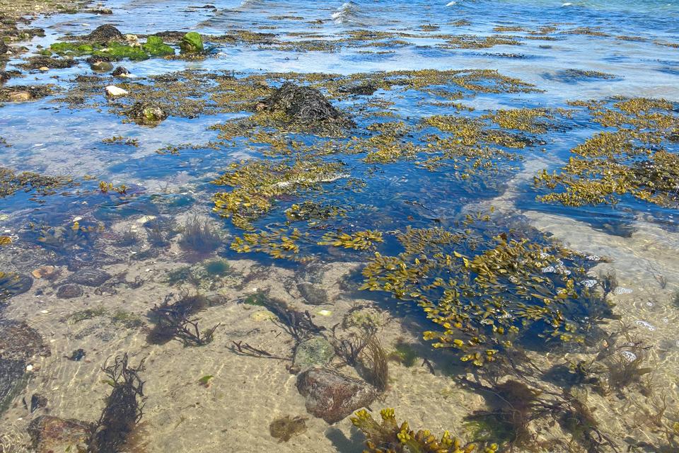 Фукус пузырчатый (Fucus vesiculosus) в прибрежных водах, Дания