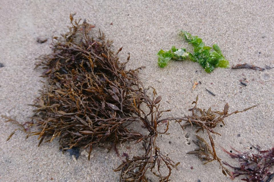 Водоросль Halidrys siliquosa на берегу моря, Дания