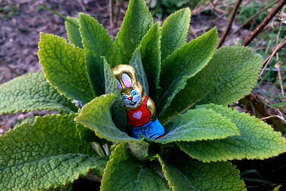 В поисках пасхальных зайцев. 9 апр. 2020, мой сад, Дания