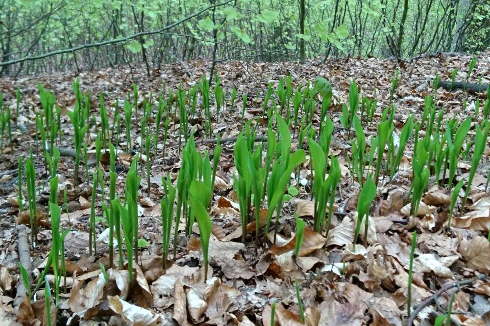 Ландыши прорастают в буковом лесу Марселисборг, г. Орхус, Дания