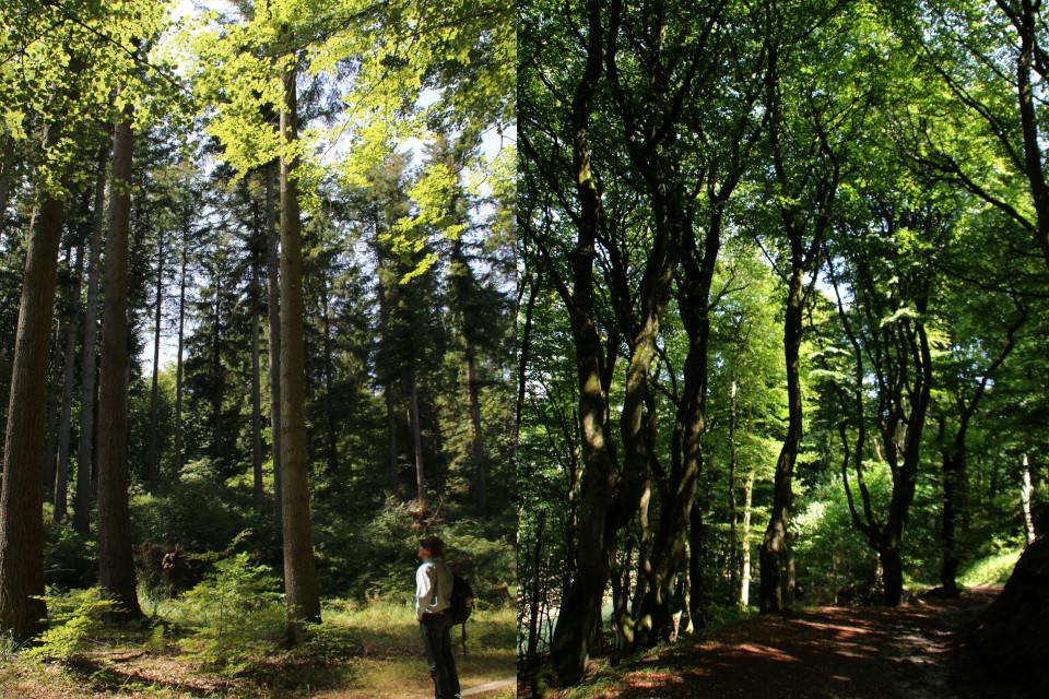 Лесопосадки пихты дугласа (слева) и буковый лес троллей (справа)