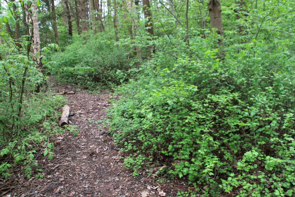 Дикорастущая смородин (Ribes spicatum) в лесу. Фото 28 апр. 2020