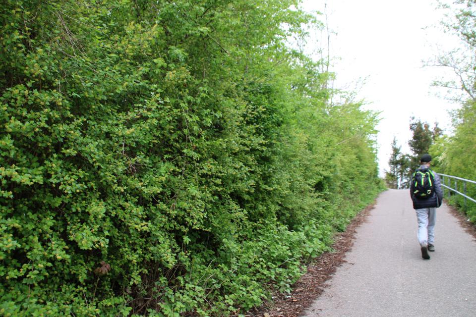 Живая ограда из цветущей смородины колосистой