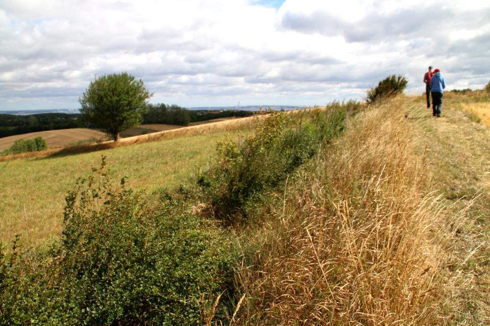 Живые изгороди из кустов дикой смородины между полями