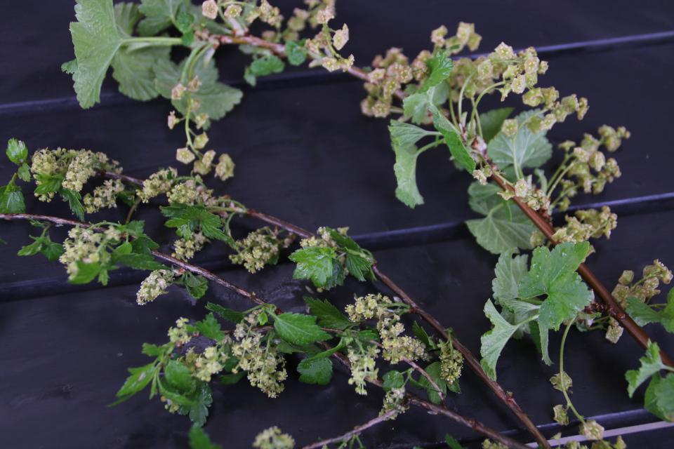 смородина колосистая (Ribes spicatum) и смородина красная (Ribes rubrum)