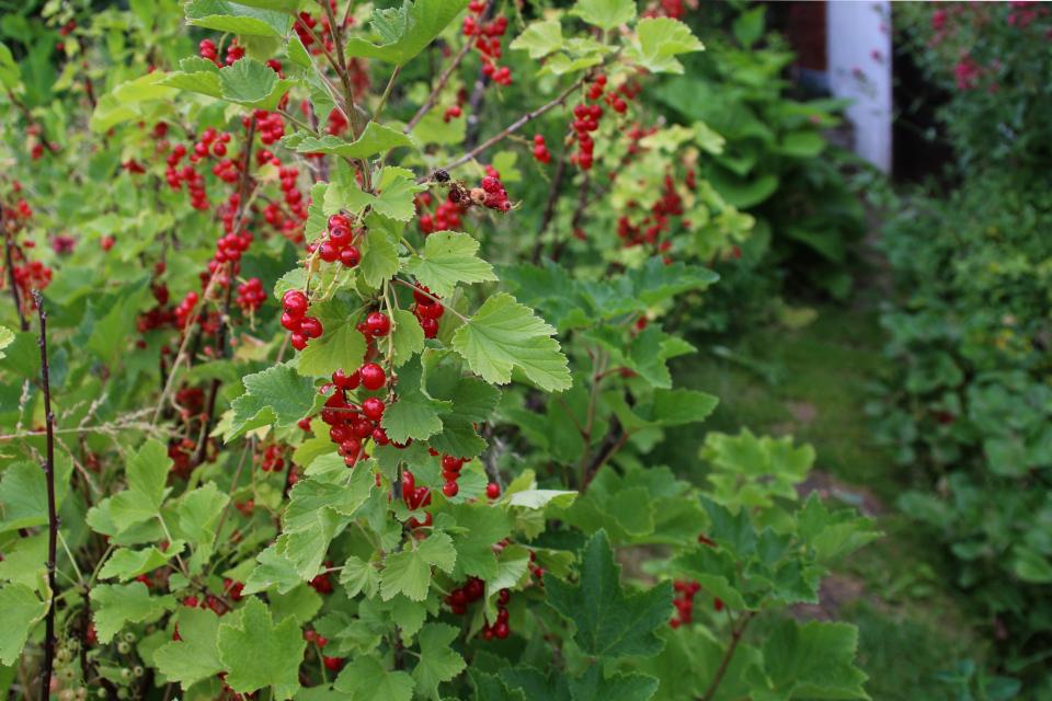 Смородина красная (Ribes rubrum) с ягодами. Фото 25 июл. 2014, мой сад