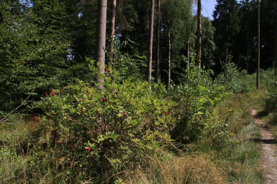 Красная бузина в лесу с пихтами дуглас, Фуссинг / Fussing