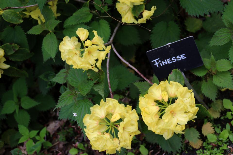 Рододендрон-азалия R. Finesse в парке рододендронов Тёрринг / Tørring, Дания.