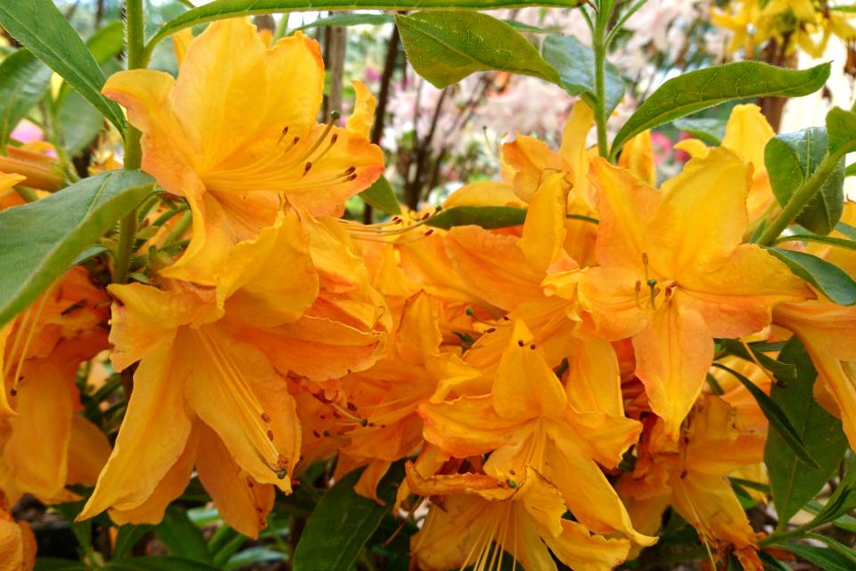 "Ароматная азалия ""Golden lights"" в питомнике Rhododendron-Haven"