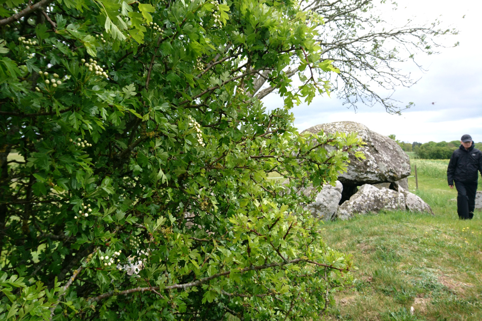 Боярышник однопестичный (лат. Crataegus monogyna) на кургане. Дания