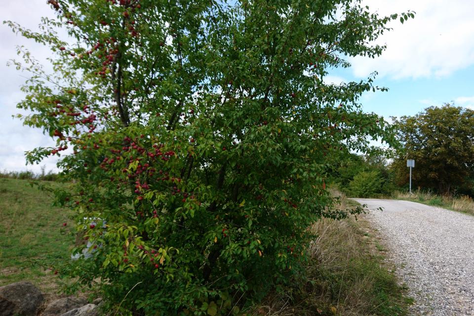 Красная алыча (лат. Prunus cerasifera, дат. Mirabel) возле парковки