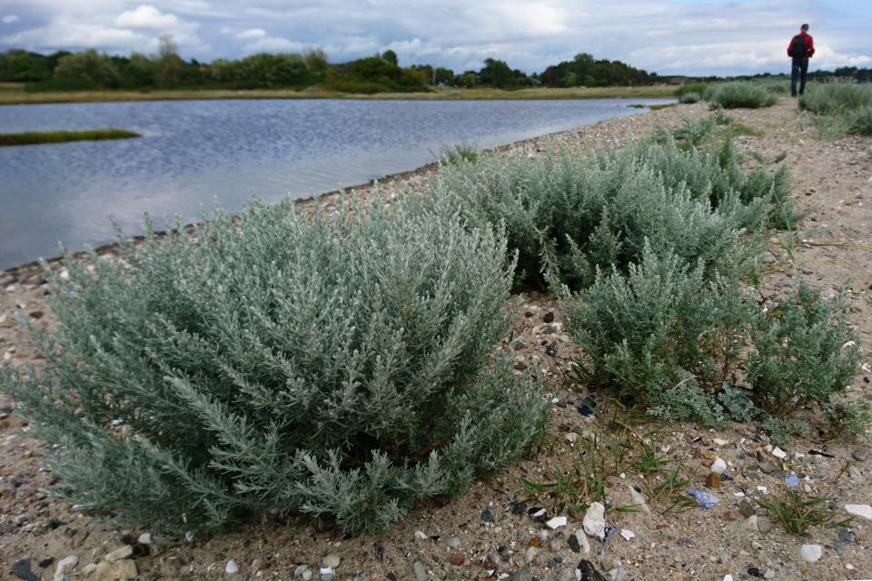 Полынь морская (лат. Artemisia maritima, дат. Strandmalurt)