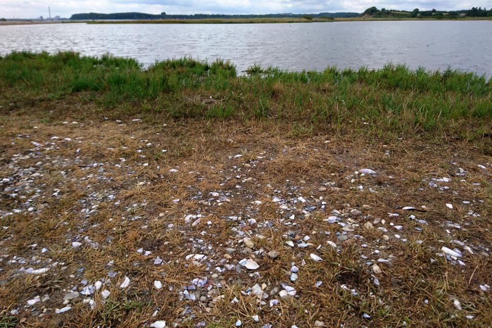 Ракушки моллюсков, разбитые чайками. Фото 15 авг. 2019, Остров чаек