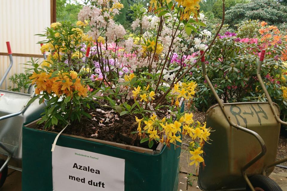 Азалии с ароматными цветами (Azalea med duft) в питомнике Rhododendron-Haven