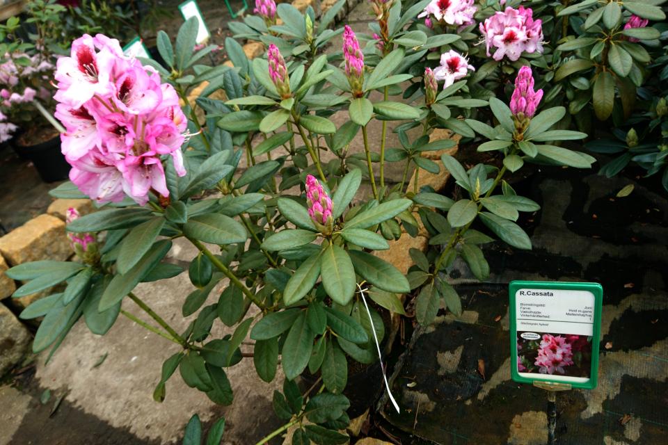 Удлиненные соцветия рододендрона Cassata в питомнике Rhododendron-Haven