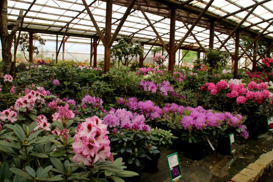 """Цветущие рододендроны, с слева - сорт """"Cassata"""""""