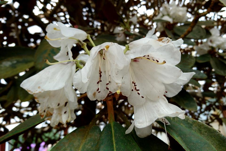 """Цветы """"королевского"""" рододендрона """"Rex"""". в питомнике Rhododendron-Haven"""