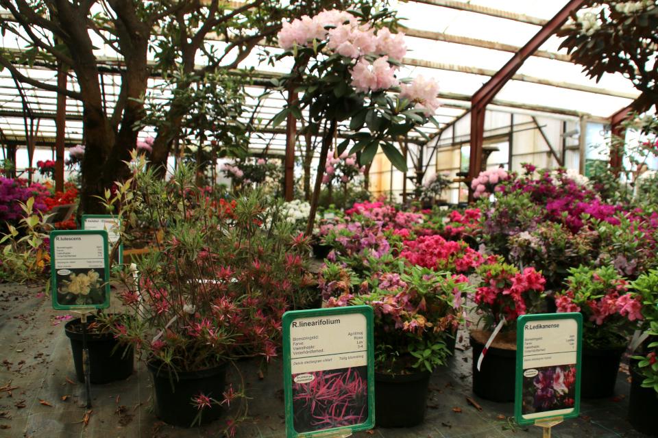 "Рододендроны ""Lutescens"", ""Linearifolium"" и ""Ledikanense"""